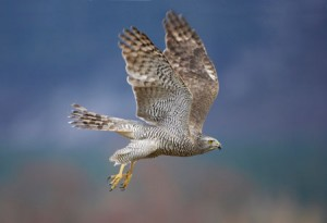 Foto: Mark Hamblin/rspb-images.com